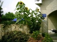 resized_zonnebloemen-en-eendjes-2007-008